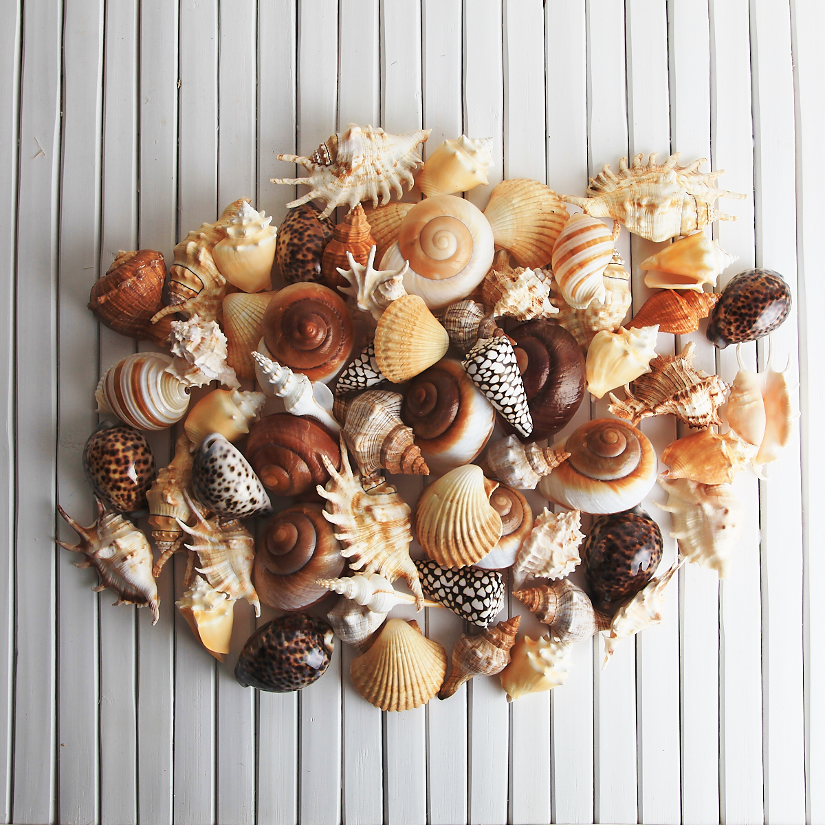 MIXED MEDIUM SIZE SHELLS BULK PACK OF 60