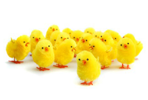 EASTER CHICKS - PACK OF 10