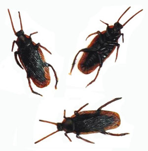 COCKROACH - REALISTIC LIFESIZE PACK OF 36