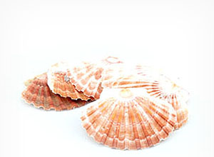 SHELL - FLAT SCALLOP - PACK OF 5 - 6 left